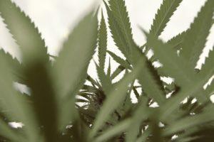 hanf pflanze